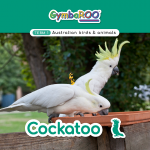 Gymba-TERM1-JAN-week10-Cockatoo